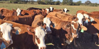 60 Braford/Tigerstripe 1st-Calf Heifers w/ 10+ Calves... Northeast TX