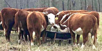 10 Reg. Polled Hereford Bred Heifers... N. Central TX ~ FD