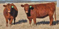 7 Red Angus Bred Heifers... Central TX