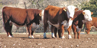 25 Reg. Hereford Bulls... Central TX