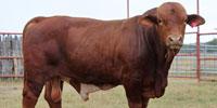 4 Reg. Beefmaster Bulls... South TX (1)