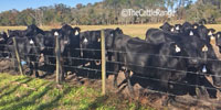 45 Angus/Brangus Cross 1st-Calf Heifers w/ 12+ Calves... Northern FL