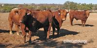 20 Reg. Red Angus Bulls... Central TX