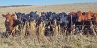 39 Angus & Red Angus Open Cows... Northeast TX