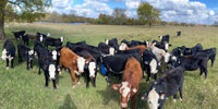 40 Black Baldy & Mixed Breed Rep. Heifers... Northeast TX