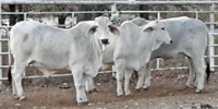 8 Brahman Bred Heifers... S. Central OK