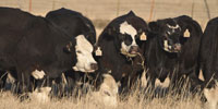 7 Angus/Hereford BWF Bred Heifers... Central TX