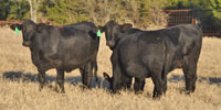 20 Brangus Bred Heifers... Central TX