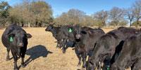 14 Brangus Bred Heifers... Central TX