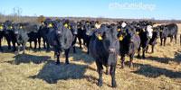 46 Angus & BWF Bred Heifers... Southwest MO