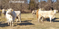 40 Charolais Cross Cows... Southwest MO