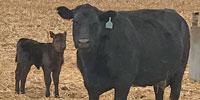95 Angus Cows w/ 25+ Calves... TX South Plains