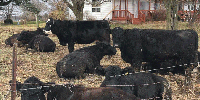 50 Maine-Angus Cows... Northeast IN