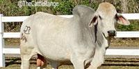 3 Reg. Brahman Bulls... S. Central LA