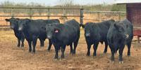 6 Reg. Angus Bulls... South TX