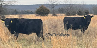43 Angus & BWF Cows... Southwest MO