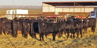 40 Angus Rep. Heifers... Central NM