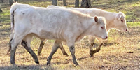 2 Charolais Rep. Heifers... Central TX