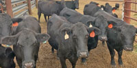 17 Angus & Brangus Cows w/ 7+ Calves... S. Central AL