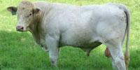 18 Reg. Charolais Bulls... East TX
