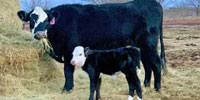 "1 Angus Cross ""BWF"" 2nd-Calf Pair... Central TX"