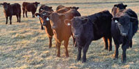 17 Angus Rep. Heifers... Southwest MO