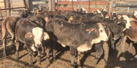 30 Braford/Tigerstripe Rep. Heifers... Southeast TX