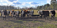 11 Black Hereford Rep. Heifers... Northwest AL
