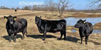 40 Angus & BWF Open Recipient Cows... Southwest MO