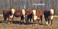 10 Reg. Polled Hereford Bred Heifers... N. Central TX ~ FD