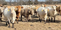 40 Charolais Cross Cows...Southwest MO