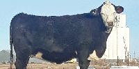 23 Brangus & Brangus Baldy 2nd-Calf Pairs... Southeast CO ~ FD