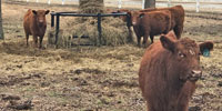 6 Red Angus Rep. Heifers... Northeast OK