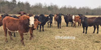 16 Crossbred Rep. Heifers... Southeast OK