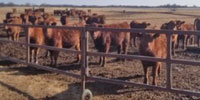 58 Red Angus Rep. Heifers... N. Central OK