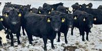 50 Angus & BWF Bred Heifers... Southwest MO