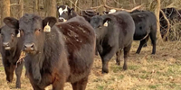 50 Angus Rep. Heifers... Northeast AR
