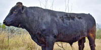 1 Akaushi/Wagyu Bull... South TX