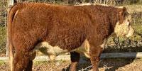 2 Reg. Polled Hereford Bulls... N. Central LA