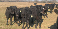 11 Angus Rep. Heifers... South TX
