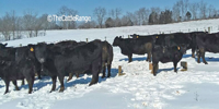 24 Reg. Angus Cows w/ 15+ Calves... Northern KY