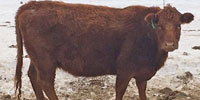100 Angus Cross & Red Angus Cross Cows... S. Central SK ~ FD