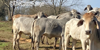 24 Brahman Cows... Southwest MS