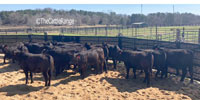 20 Brangus Rep. Heifers... Central AL
