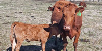 3 Red Angus Cross Pairs... E. Central OK
