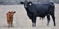 72 Angus Cross & Crossbred Cows w/ 45+ Calves... South TX