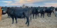 200 Angus Cross & Crossbred Pairs... N. Central TX