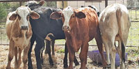 12 F1 Braford/Tigerstripe Rep. Heifers... East TX