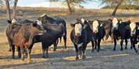 12 Brangus Baldy 2nd-Calf Cows... Central TX