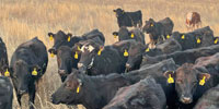 42 Angus & BWF Open Cows... Southwest MO